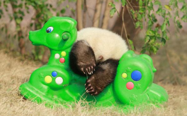 かわいいジャイアントパンダの画像 8