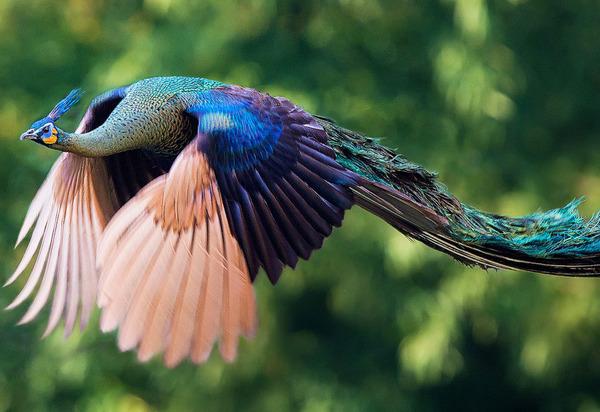 孔雀が飛ぶ姿が神々しすぎる…!空飛ぶクジャクの画像 (2)