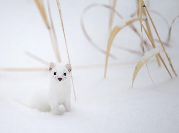 純白が美しすぎるオコジョの画像 10