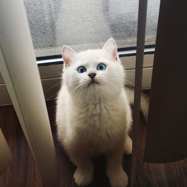 美しい…。綺麗な青い瞳をした白猫が話題!【猫画像】 (2)