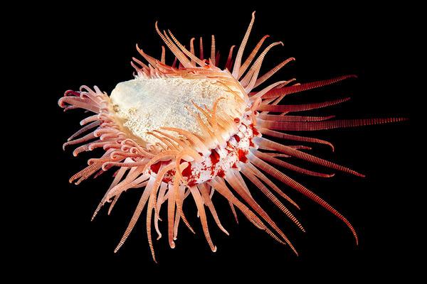 神秘的!北極圏に存在する未知の海洋生物たちの画像 (8)