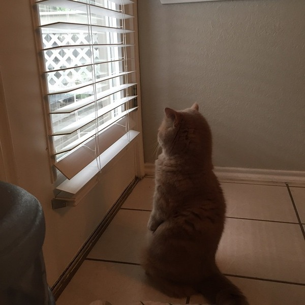 二足で直立する猫 7