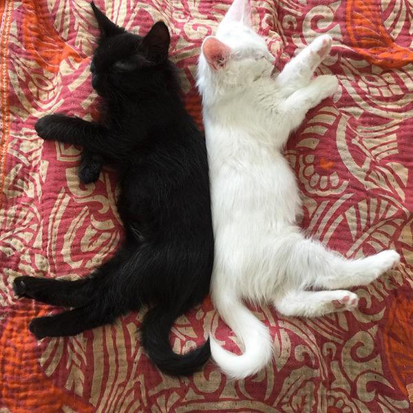 黒猫と白猫どっちが好き?どっちも可愛すぎ【猫画像】 (14)