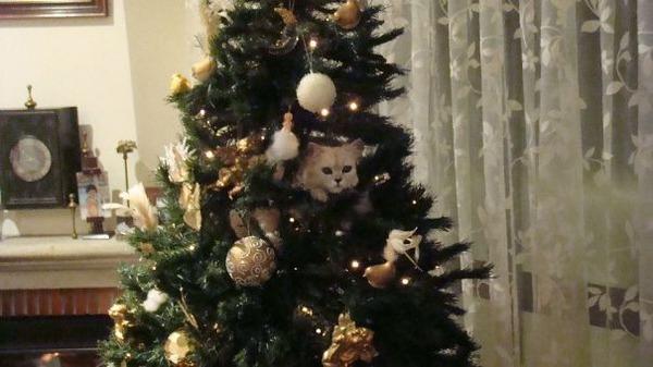 猫、あらぶる!クリスマスツリーに登る猫画像 (43)