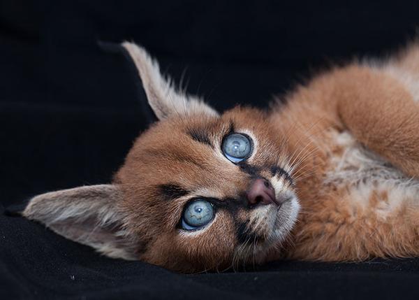 カラカルの画像!麻呂眉と耳の房毛が特徴的なネコ科動物 (30)