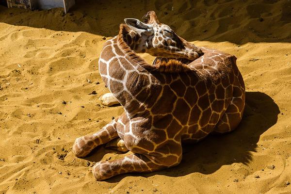 キリンの寝方、キリンの睡眠モード姿勢 12