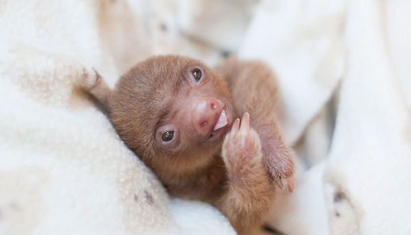 癒し系動物ナマケモノの赤ちゃんが超かわいい画像 (10)