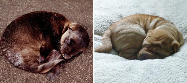 アザラシって犬そっくりじゃね?犬とアザラシを比較画像! (9)
