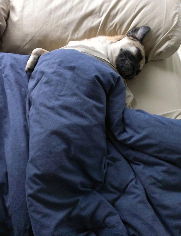 ベッドで寝る犬 かわいいおもしろ画像 18