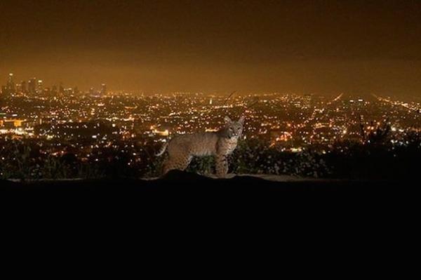 ボブキャット 2 in ロサンゼルス