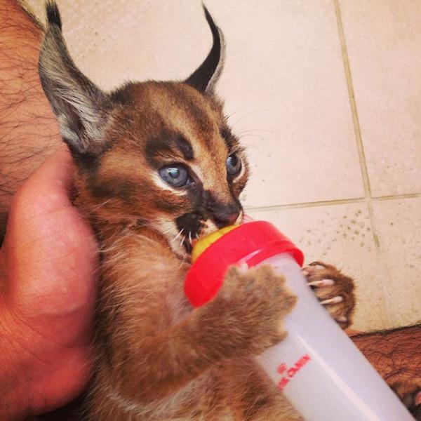 カラカルの画像!麻呂眉と耳の房毛が特徴的なネコ科動物 (10)