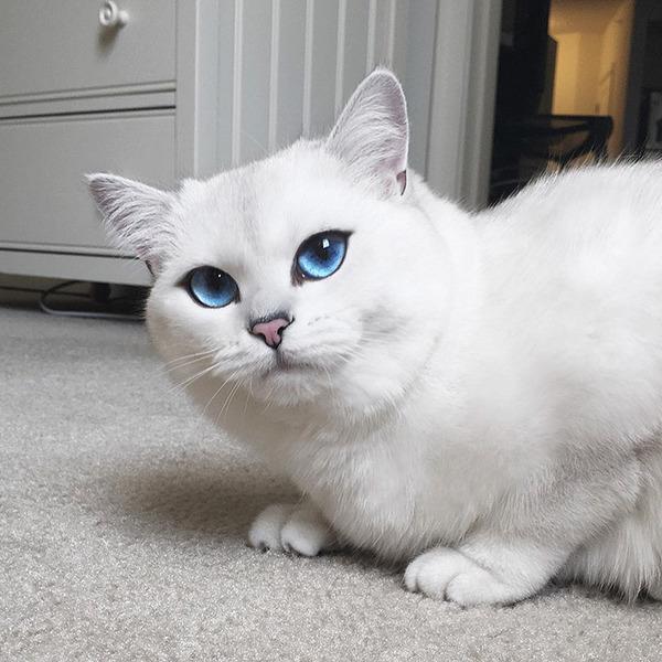 美しい…。綺麗な青い瞳をした白猫が話題!【猫画像】 (1)