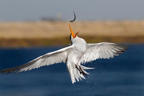 もう逃げられない…!鳥が魚をパックリ食べちゃう瞬間的画像 (8)