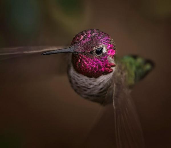 ハチドリ、可愛い、美しい小鳥の写真 (11)