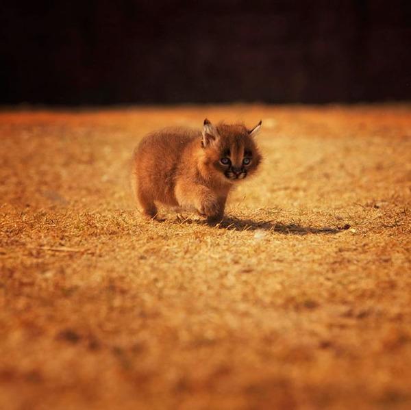 カラカルの画像!麻呂眉と耳の房毛が特徴的なネコ科動物 (16)