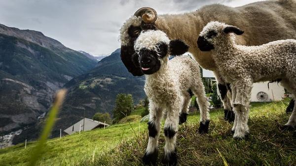 ヴァレーブラックノーズシープ!モフモフな羊 (5)