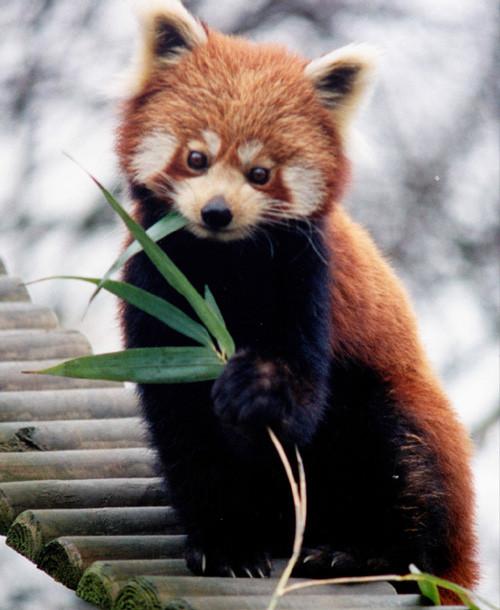 Red panda's Photos