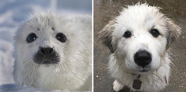 アザラシって犬そっくりじゃね?犬とアザラシを比較画像! (37)