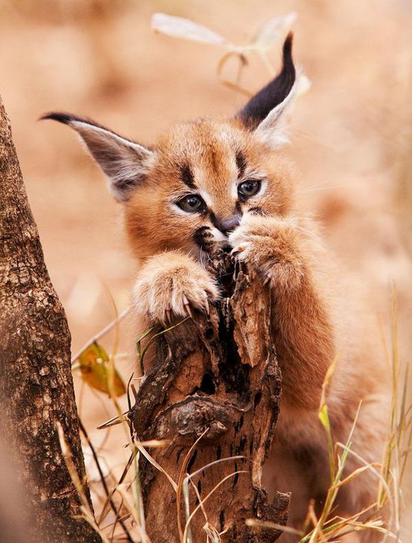 カラカルの画像!麻呂眉と耳の房毛が特徴的なネコ科動物 (22)