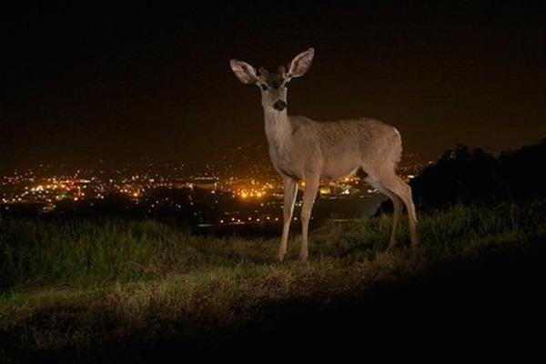 鹿 in ロサンゼルス