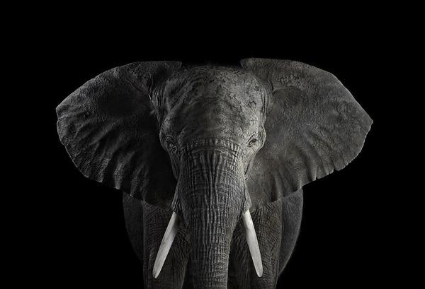 アフリカゾウの肖像写真、スタジオポートレート