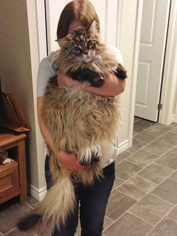 でかすぎる!大型のイエネコ長毛種メインクーン画像【猫】 (52)