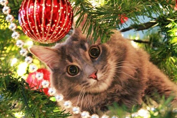 猫、あらぶる!クリスマスツリーに登る猫画像 (38)