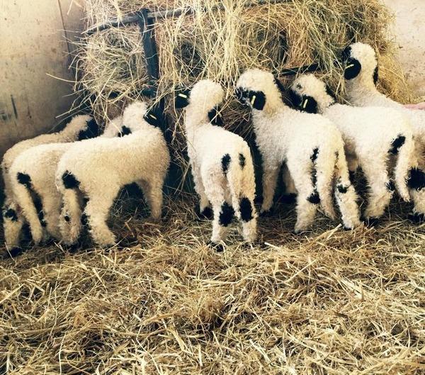 ヴァレーブラックノーズシープ!モフモフな羊 (16)