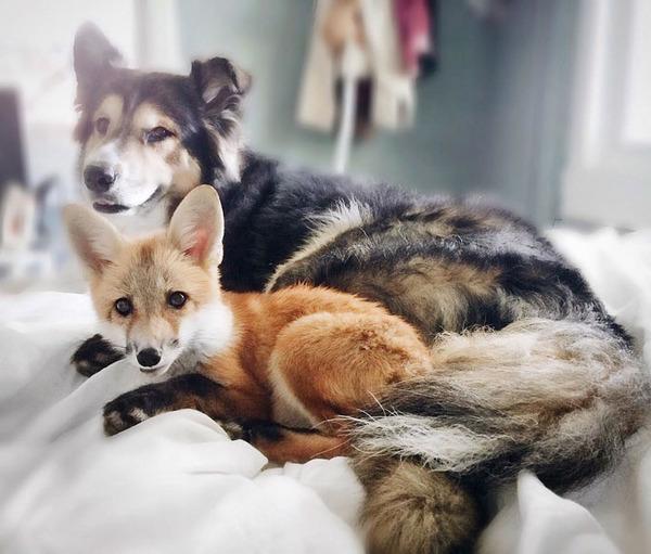 大好きすぎてこの笑顔。キツネとイヌのペットコンビ! (9)
