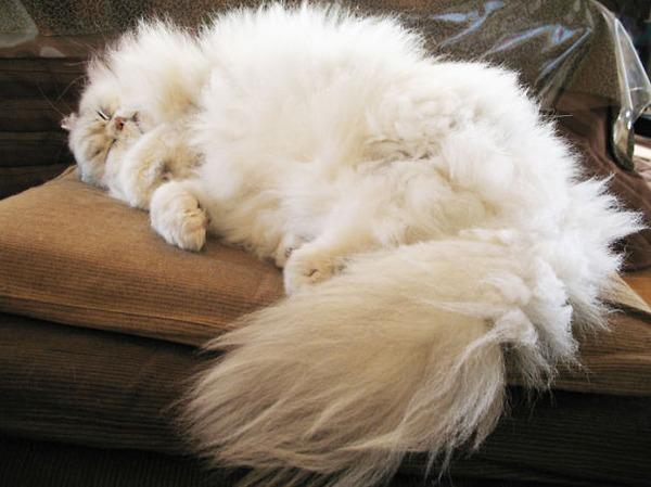 綿菓子フワフワ!モフモフしたくなる長毛種の猫画像 (7)