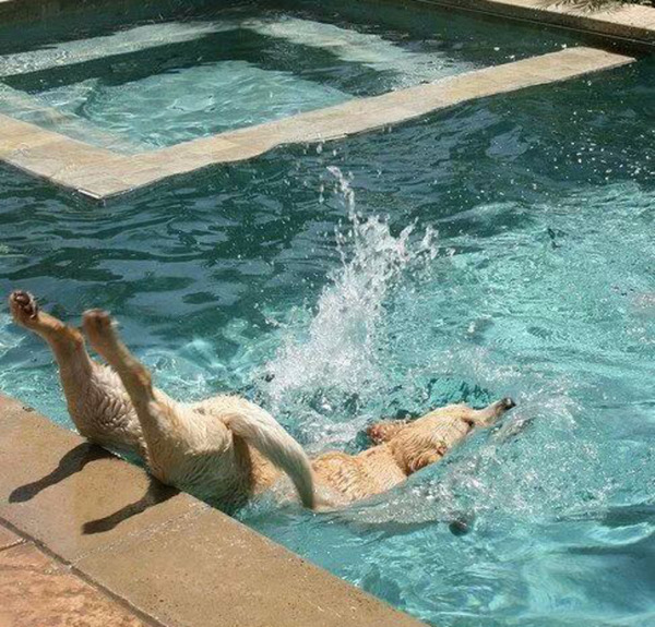 優雅にプールに飛び込んだ犬