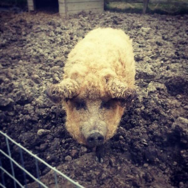 羊みたいな体毛を持った豚『マンガリッツァ』。モフモフ! (18)