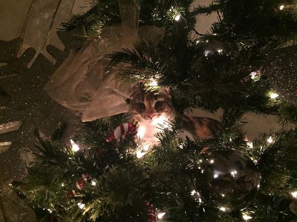 猫、あらぶる!クリスマスツリーに登る猫画像 (33)