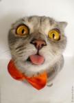 ペロペロ猫!ペロリと舌を出すスコティッシュフォールド