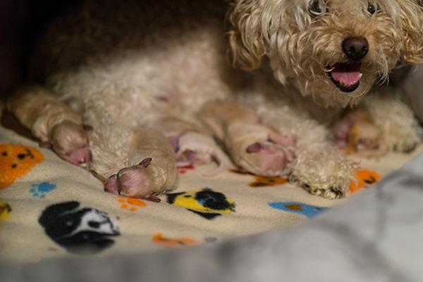 お母さん犬とその子犬達のソックリ集合写真!犬親子画像 (31)