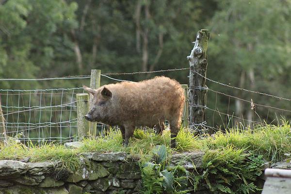 羊みたいな体毛を持った豚『マンガリッツァ』。モフモフ! (26)