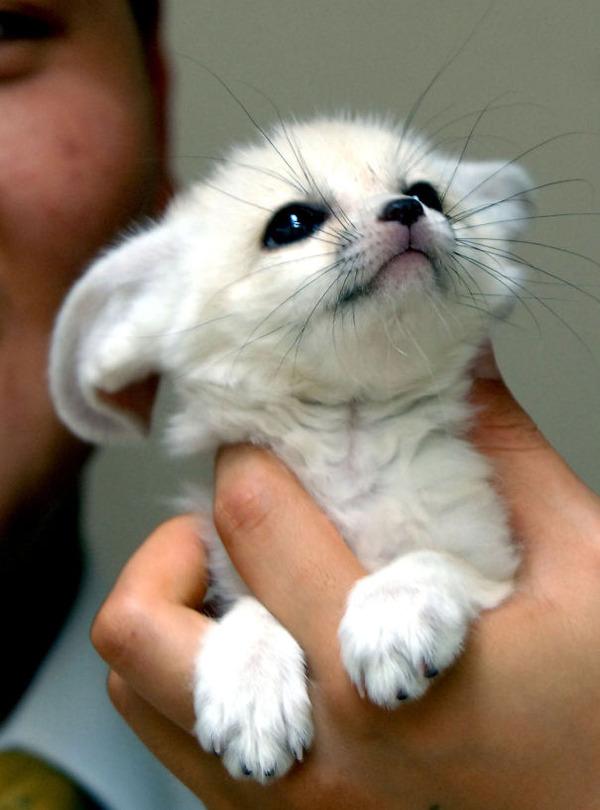 可愛いフェネックの動物の赤ちゃん