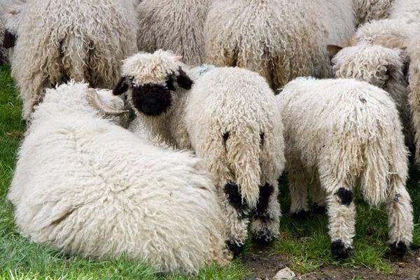 ヴァレーブラックノーズシープ!モフモフな羊 (11)