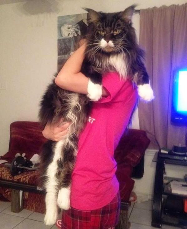 とても大きい猫の画像 4