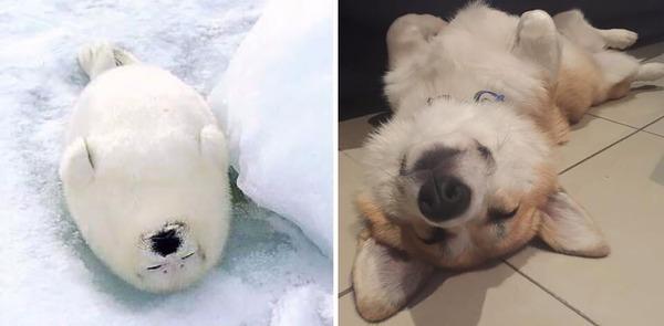 アザラシって犬そっくりじゃね?犬とアザラシを比較画像! (29)