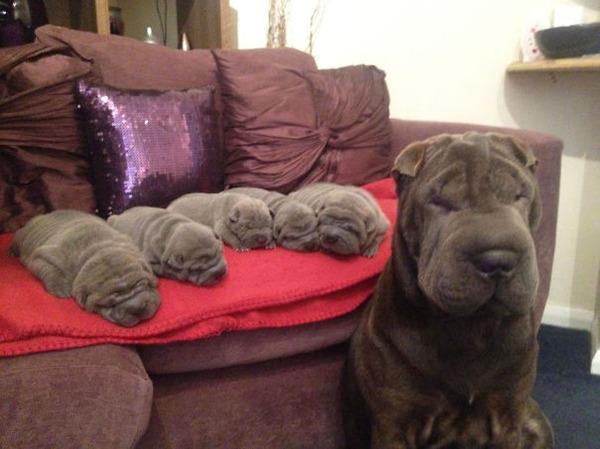お母さん犬とその子犬達のソックリ集合写真!犬親子画像 (2)