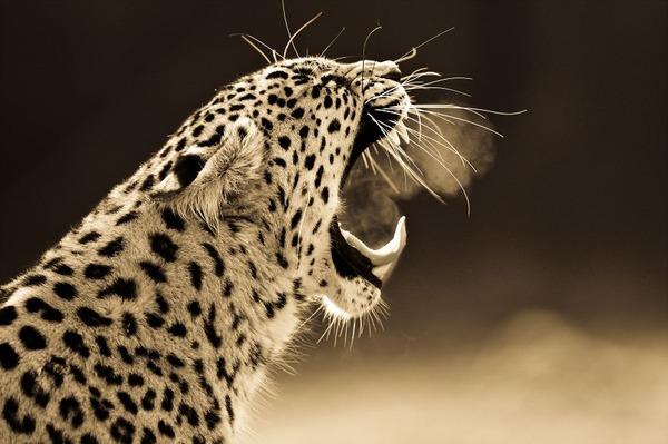 大型ネコ科!ライオン、ヒョウ、トラの美しいセピア写真 (6)