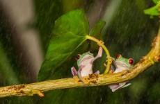 葉っぱの傘を差す野生動物が可愛い!自然の傘で雨宿りするカエル他