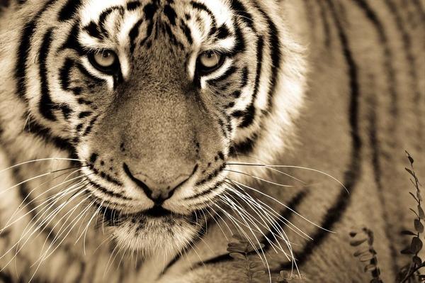 大型ネコ科!ライオン、ヒョウ、トラの美しいセピア写真 (2)