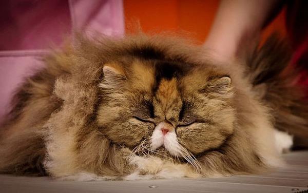 綿菓子フワフワ!モフモフしたくなる長毛種の猫画像 (35)