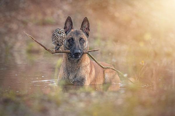犬とフクロウの仲良し画像 (4)
