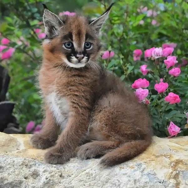 カラカルの画像!麻呂眉と耳の房毛が特徴的なネコ科動物 (29)