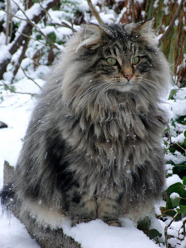 でかすぎる!大型のイエネコ長毛種メインクーン画像【猫】 (4)