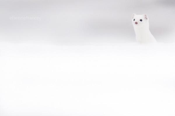 純白が美しすぎるオコジョの画像 12