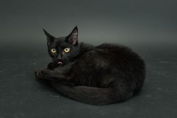 アメリカのアニマルシェルターで里親を待つ黒猫たちの写真 (7)